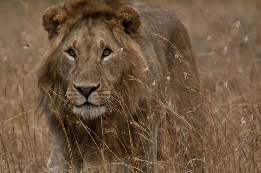 Lion Eyes, Masai Mara NP, Kenya (Anita Ritenour, Flickr)