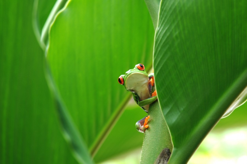 Red Eyed Tree Frog in Tortuguero, Costa Rica (vincentraal, Flickr)