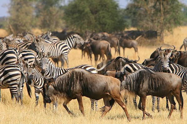 Serengeti migration (Marc Veraart, Flickr)