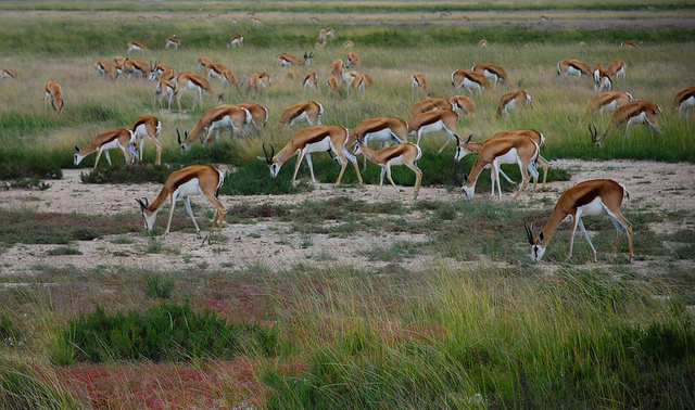 Springbok, Etosha, Namibia (Caroline Granycome, Flickr)